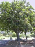 Tamatu arbre