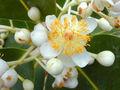 Tamanu fleurs