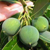 Tamanu-fruit