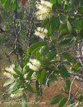 Niaouli fleur feuilles et branches copie