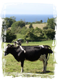 Les paniers normands vaches
