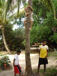 monté à un cocotier