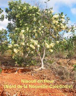 NIAOULI_en_fleur_(Nord_de_la_Calédonie)2