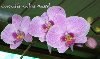 ORCHIDEE violine pastel