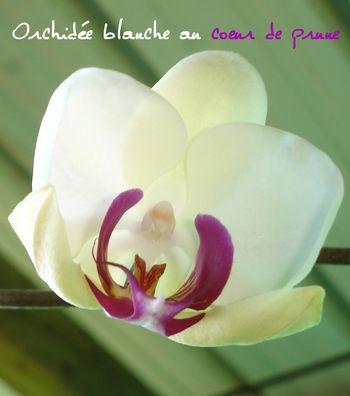 ORCHIDEE BLANCHE COEUR PRUNE