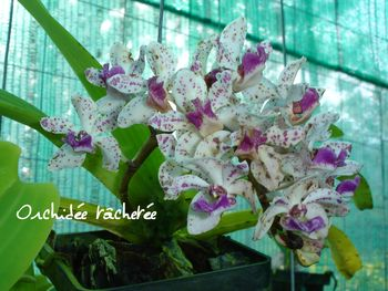 ORCHIDEE TACHETEE