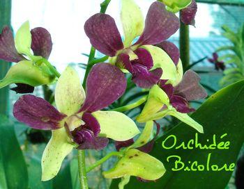 ORCHIDEE BICOLORE